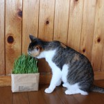 インターネット無印良品で隠れた人気商品が、『猫草栽培セット2個入り』