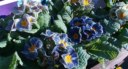 プリムラの花びらの縞模様がきれい。