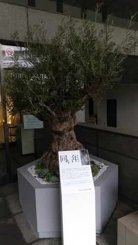 日比谷花壇創業と同い年のオリーブの木。